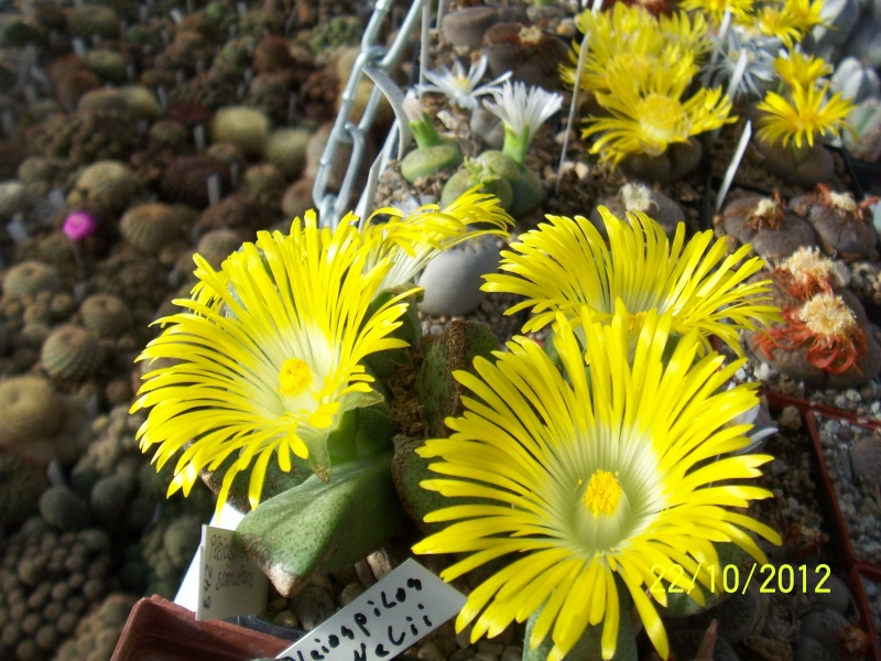 Cacti and Sukkulent in Köln, every day new flowers in the greenhouse Part 42 Bild1090
