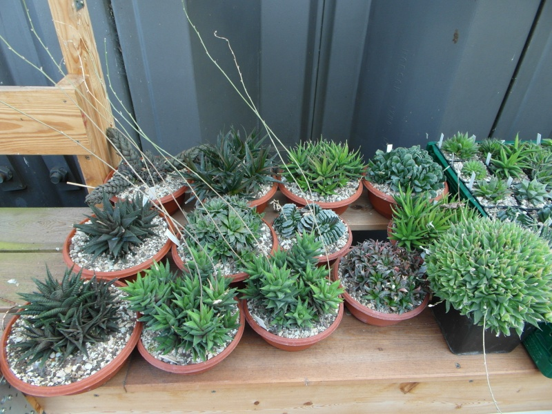 Cacti and Sukkulent in Köln, every day new flowers in the greenhouse Part 42 Bild1095