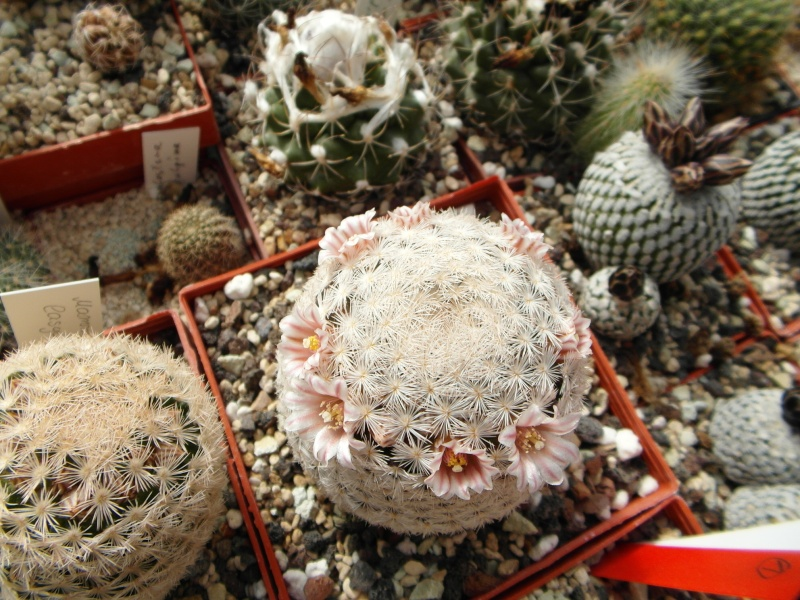 Cacti and Sukkulent in Köln, every day new flowers in the greenhouse Part 42 Bild1098