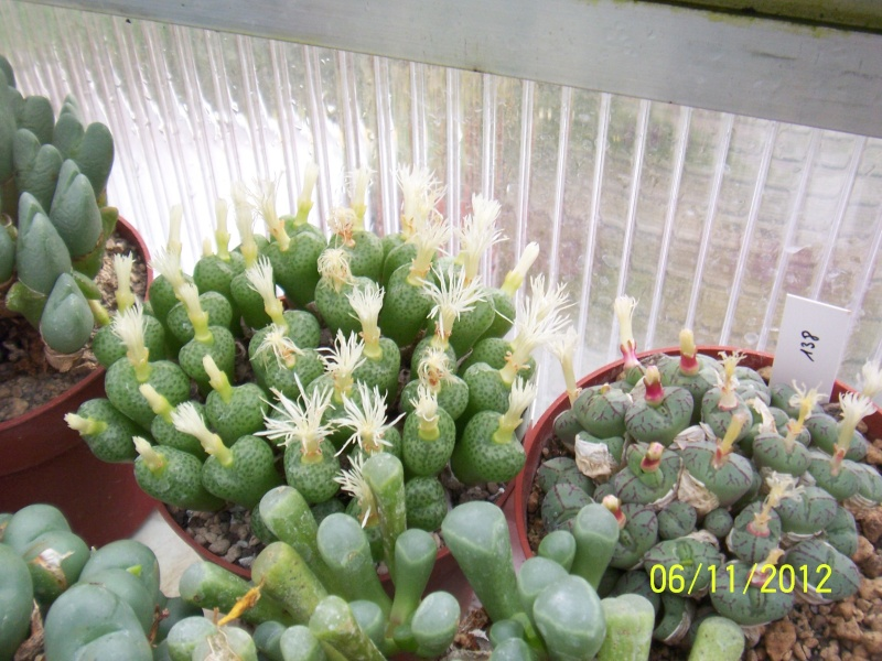 Cacti and Sukkulent in Köln, every day new flowers in the greenhouse Part 42 Bild1102