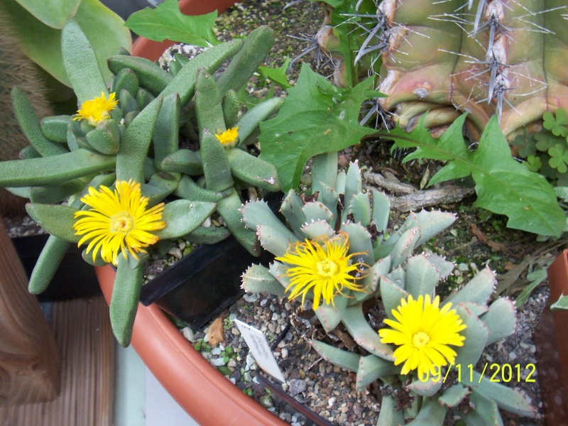Cacti and Sukkulent in Köln, every day new flowers in the greenhouse Part 42 Bild1106