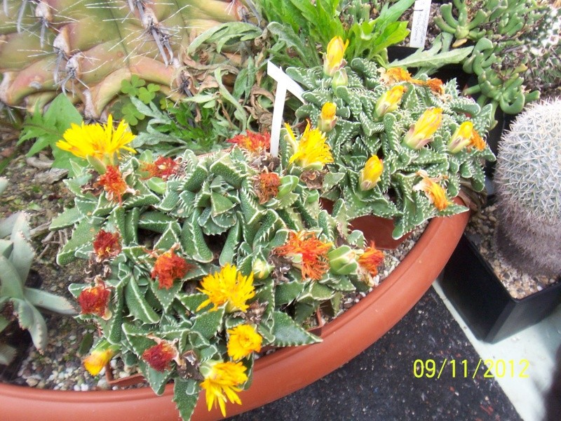Cacti and Sukkulent in Köln, every day new flowers in the greenhouse Part 42 Bild1107