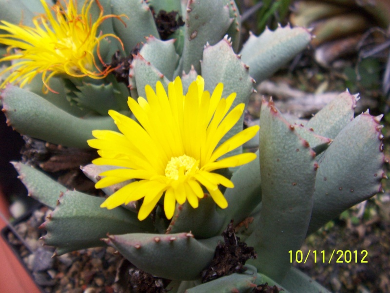 Cacti and Sukkulent in Köln, every day new flowers in the greenhouse Part 42 Bild1109