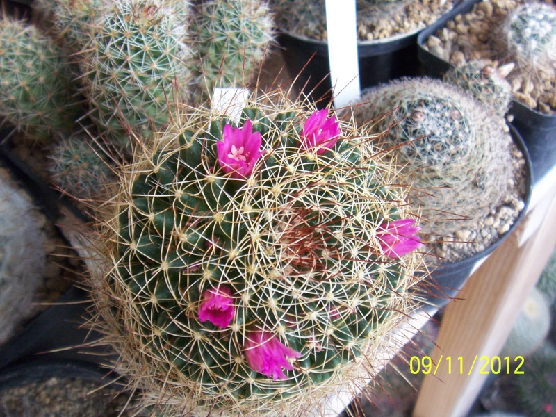 Cacti and Sukkulent in Köln, every day new flowers in the greenhouse Part 42 Bild1111