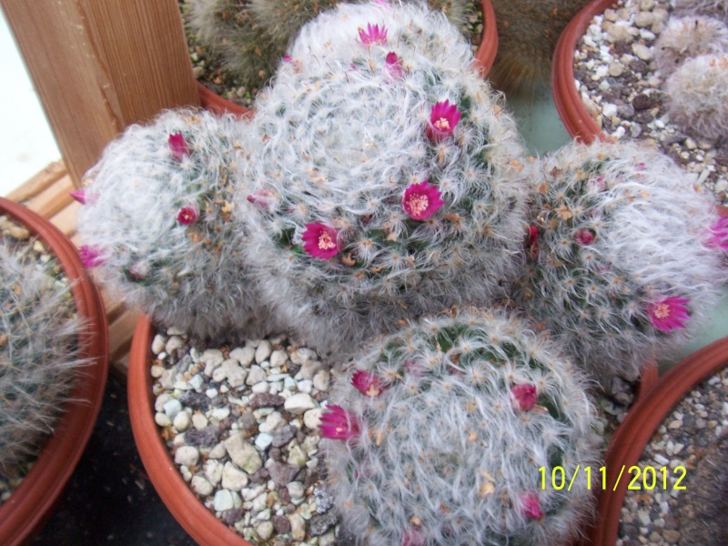 Cacti and Sukkulent in Köln, every day new flowers in the greenhouse Part 42 Bild1114