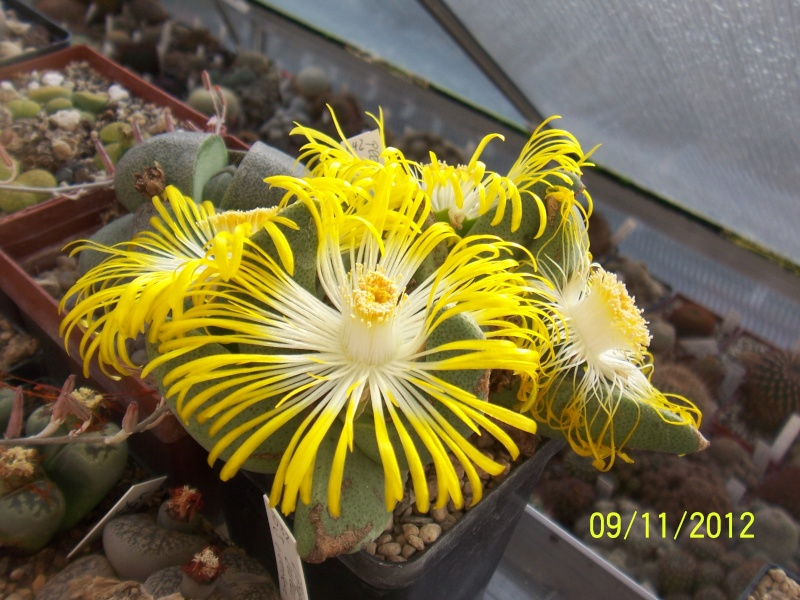 Cacti and Sukkulent in Köln, every day new flowers in the greenhouse Part 42 Bild1117