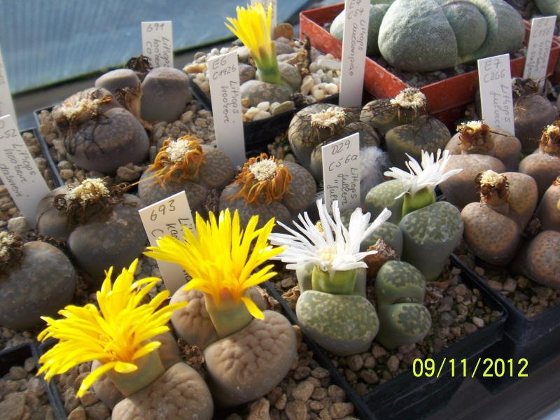 Cacti and Sukkulent in Köln, every day new flowers in the greenhouse Part 42 Bild1119