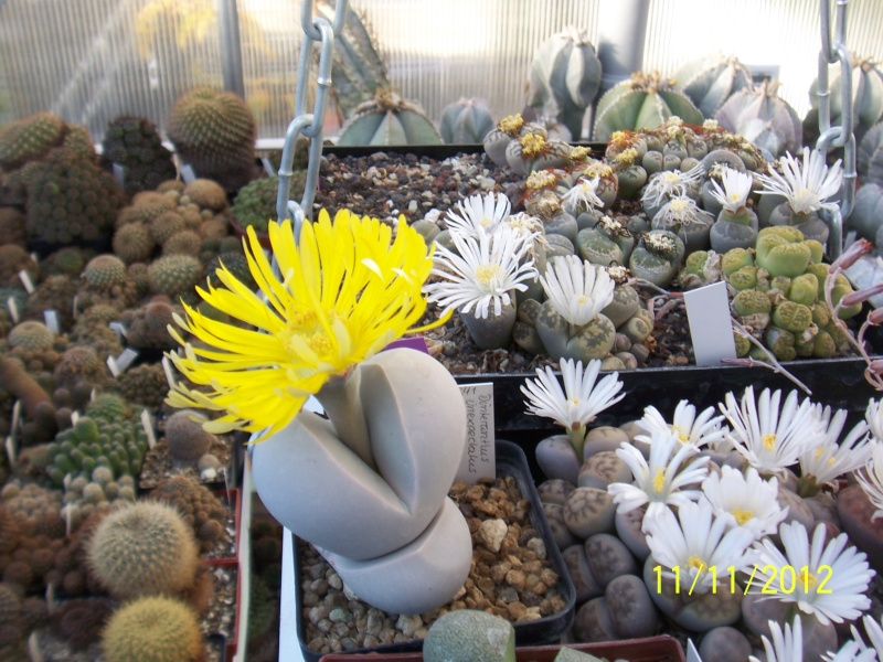 Cacti and Sukkulent in Köln, every day new flowers in the greenhouse Part 42 Bild1120