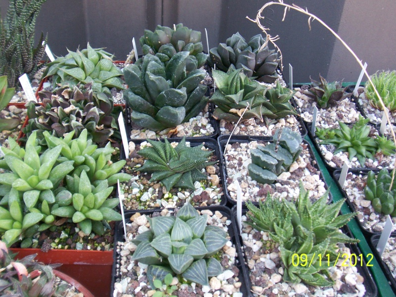 Cacti and Sukkulent in Köln, every day new flowers in the greenhouse Part 42 Bild1124