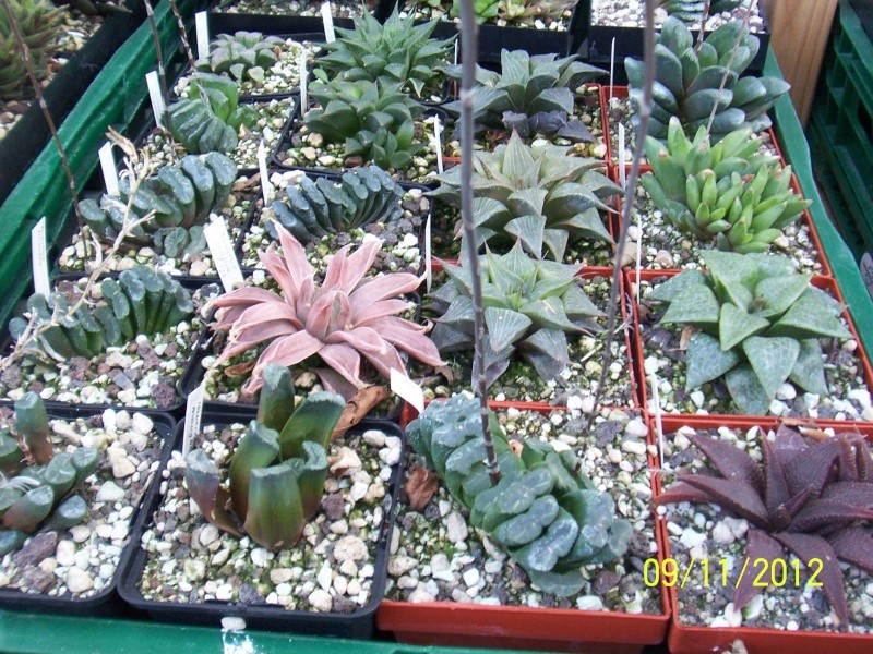 Cacti and Sukkulent in Köln, every day new flowers in the greenhouse Part 42 Bild1125