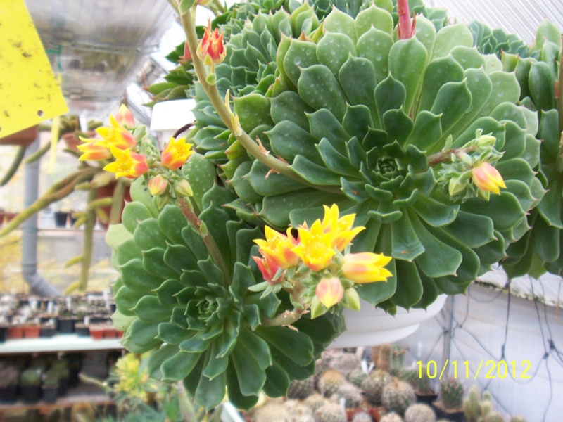 Cacti and Sukkulent in Köln, every day new flowers in the greenhouse Part 42 Bild1126