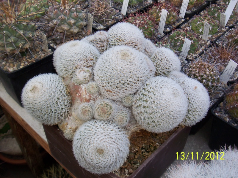 Cacti and Sukkulent in Köln, every day new flowers in the greenhouse Part 42 Bild1128