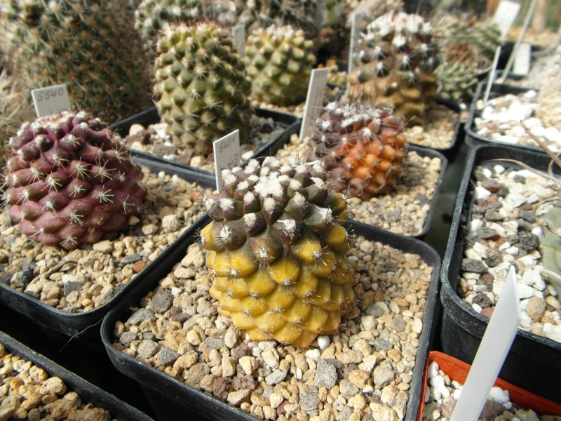 Cacti and Sukkulent in Köln, every day new flowers in the greenhouse Part 42 Bild1142