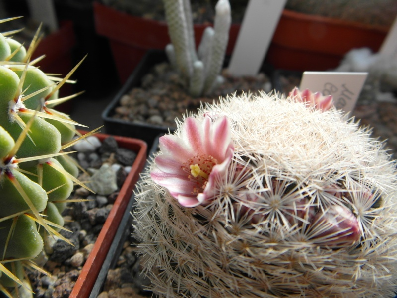 Cacti and Sukkulent in Köln, every day new flowers in the greenhouse Part 42 Bild1143