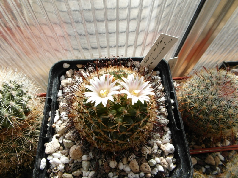 Cacti and Sukkulent in Köln, every day new flowers in the greenhouse Part 42 Bild1144