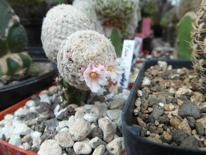 Cacti and Sukkulent in Köln, every day new flowers in the greenhouse Part 42 Bild1147