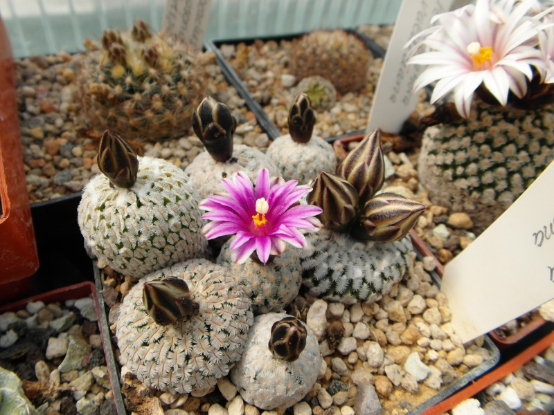 Cacti and Sukkulent in Köln, every day new flowers in the greenhouse Part 42 Bild1148