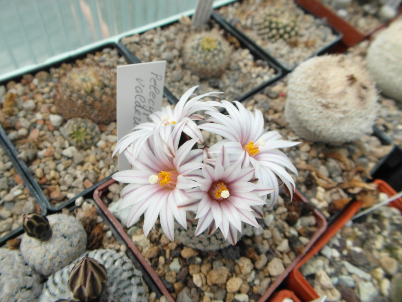 Cacti and Sukkulent in Köln, every day new flowers in the greenhouse Part 42 Bild1149