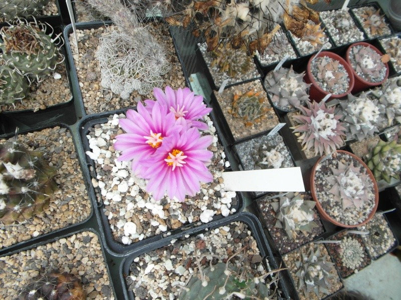 Cacti and Sukkulent in Köln, every day new flowers in the greenhouse Part 42 Bild1154