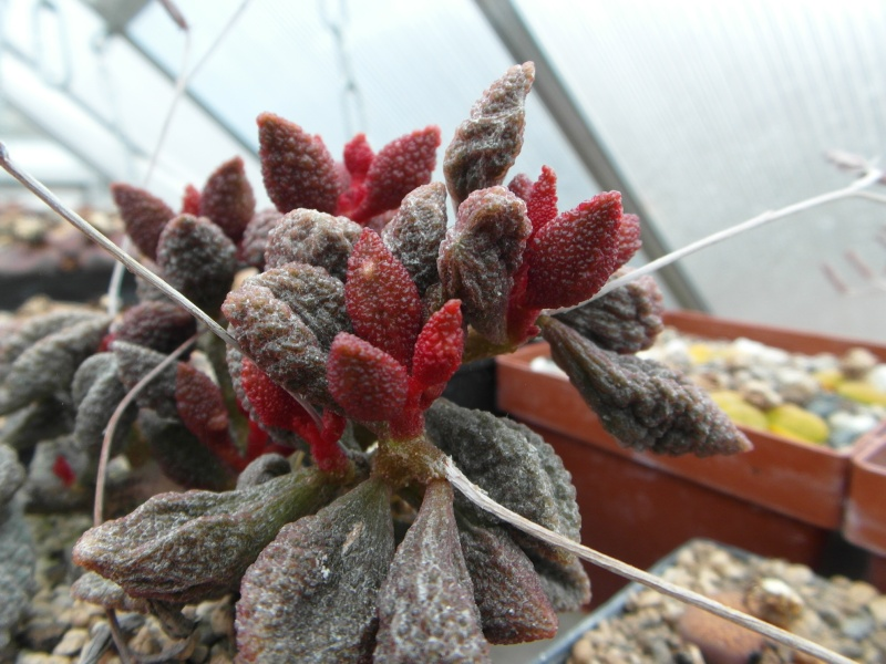 Cacti and Sukkulent in Köln, every day new flowers in the greenhouse Part 42 Bild1167