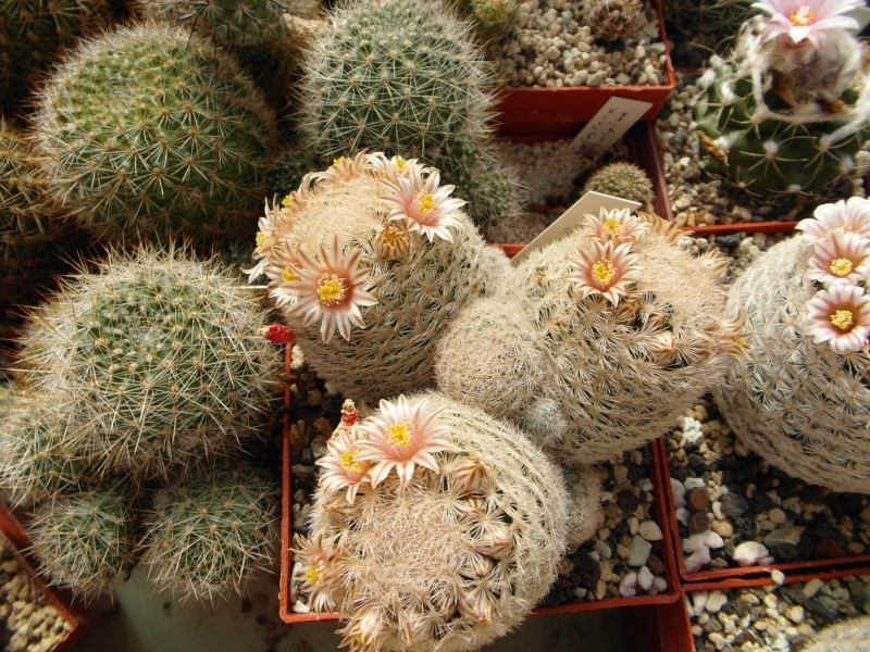 Cacti and Sukkulent in Köln, every day new flowers in the greenhouse Part 42 Bild1180