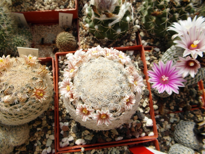 Cacti and Sukkulent in Köln, every day new flowers in the greenhouse Part 42 Bild1181