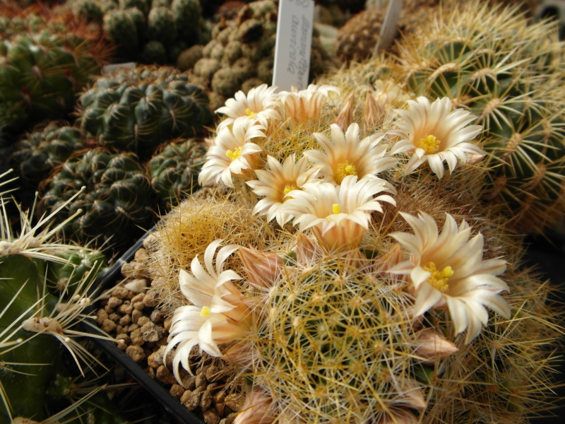 Cacti and Sukkulent in Köln, every day new flowers in the greenhouse Part 42 Bild1182