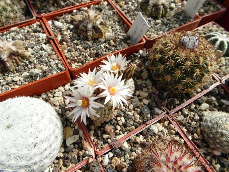 Cacti and Sukkulent in Köln, every day new flowers in the greenhouse Part 42 Bild1185