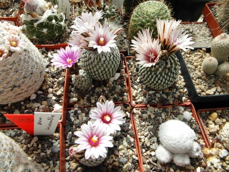 Cacti and Sukkulent in Köln, every day new flowers in the greenhouse Part 42 Bild1186