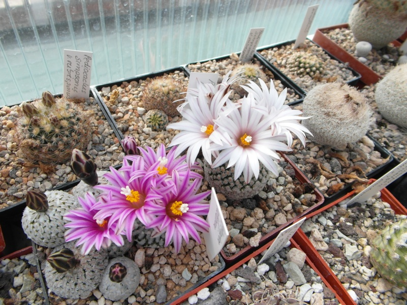 Cacti and Sukkulent in Köln, every day new flowers in the greenhouse Part 42 Bild1188