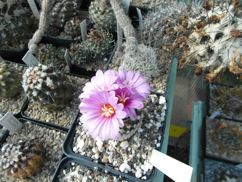 Cacti and Sukkulent in Köln, every day new flowers in the greenhouse Part 42 Bild1189