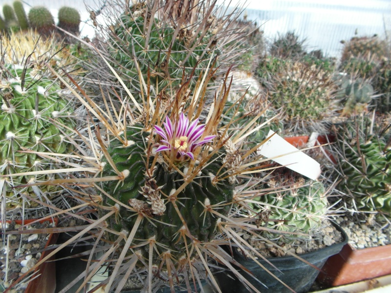 Cacti and Sukkulent in Köln, every day new flowers in the greenhouse Part 42 Bild1190