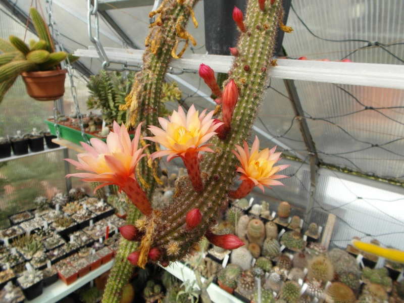 Cacti and Sukkulent in Köln, every day new flowers in the greenhouse Part 42 Bild1191
