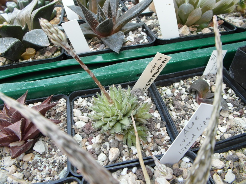 Cacti and Sukkulent in Köln, every day new flowers in the greenhouse Part 43 Bild1209