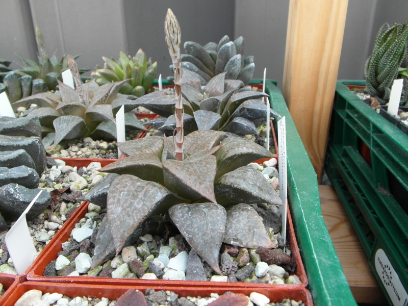Cacti and Sukkulent in Köln, every day new flowers in the greenhouse Part 43 Bild1214