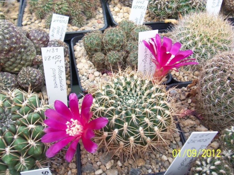 Cacti and Sukkulent in Köln, every day new flowers in the greenhouse Part 32 Bild_106