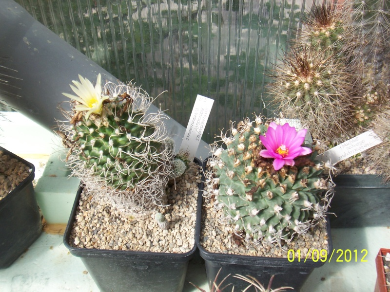 Cacti and Sukkulent in Köln, every day new flowers in the greenhouse Part 32 Bild_110