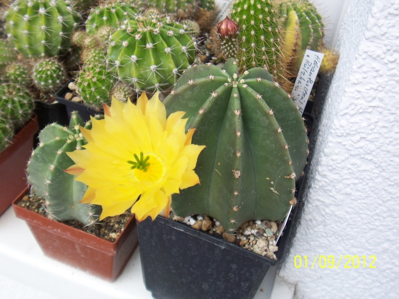 Cacti and Sukkulent in Köln, every day new flowers in the greenhouse Part 32 Bild_112
