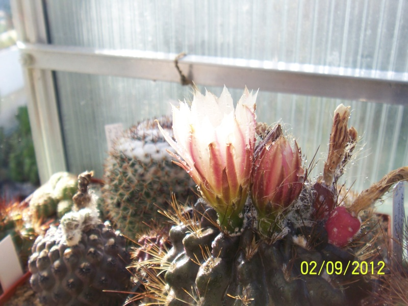 Cacti and Sukkulent in Köln, every day new flowers in the greenhouse Part 32 Bild_117