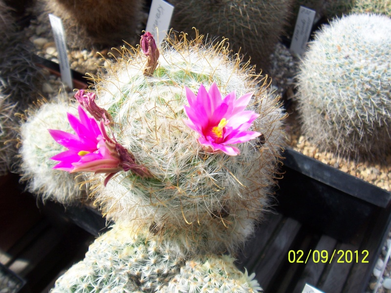 Cacti and Sukkulent in Köln, every day new flowers in the greenhouse Part 32 Bild_146