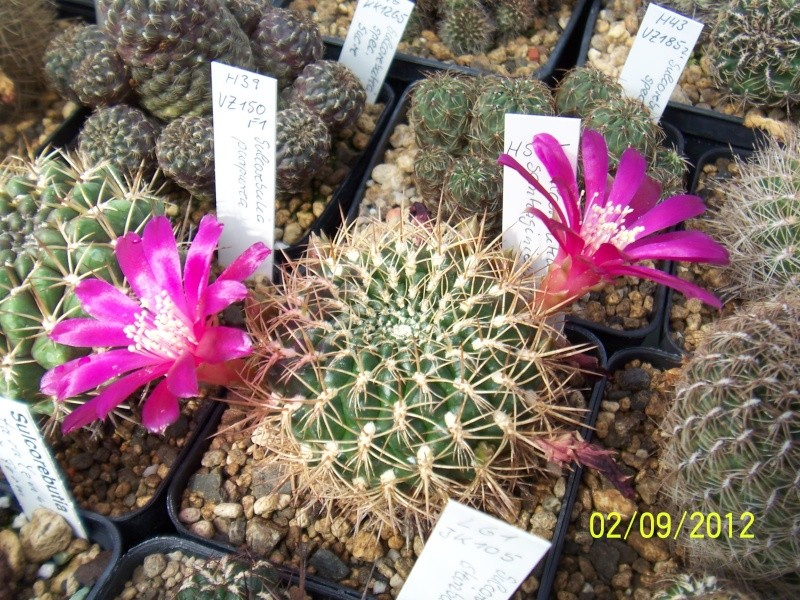 Cacti and Sukkulent in Köln, every day new flowers in the greenhouse Part 33 Bild_178