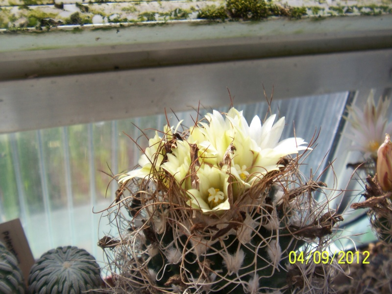 Cacti and Sukkulent in Köln, every day new flowers in the greenhouse Part 33 Bild_212
