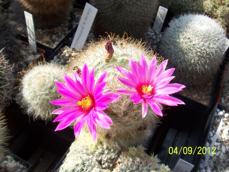 Cacti and Sukkulent in Köln, every day new flowers in the greenhouse Part 33 Bild_219