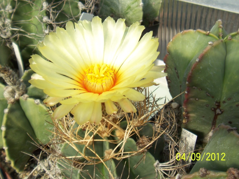 Cacti and Sukkulent in Köln, every day new flowers in the greenhouse Part 33 Bild_224