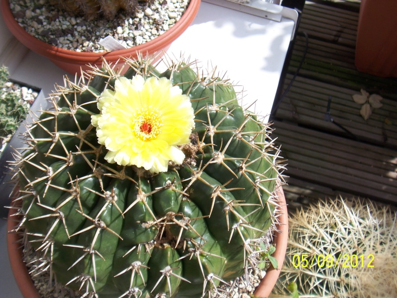Cacti and Sukkulent in Köln, every day new flowers in the greenhouse Part 33 Bild_239