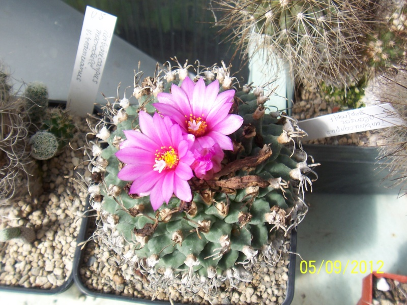 Cacti and Sukkulent in Köln, every day new flowers in the greenhouse Part 33 Bild_248