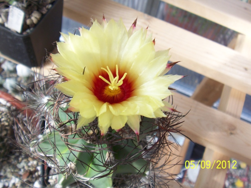 Cacti and Sukkulent in Köln, every day new flowers in the greenhouse Part 33 Bild_252