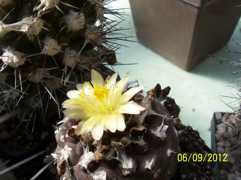 Cacti and Sukkulent in Köln, every day new flowers in the greenhouse Part 33 Bild_260