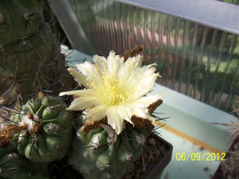 Cacti and Sukkulent in Köln, every day new flowers in the greenhouse Part 33 Bild_262