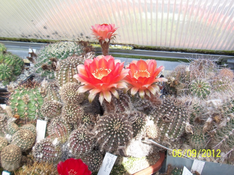 Cacti and Sukkulent in Köln, every day new flowers in the greenhouse Part 33 Bild_273